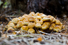 Mushrooms Hypholoma