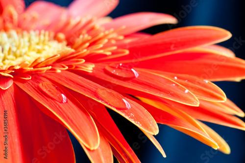 Stampa su Tela Red gebera flower close up