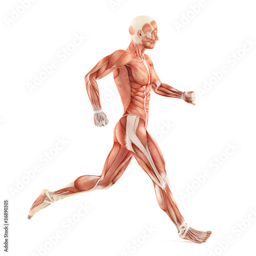 Fotografía Running man muscles anatomy system isolated on white background