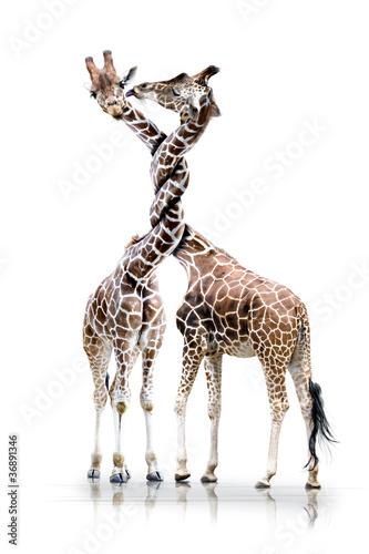 Foto op Aluminium Giraffe Giraffen mit verdrehten Hals