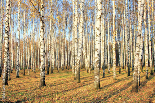 Poster Berkbosje Birch grove in october