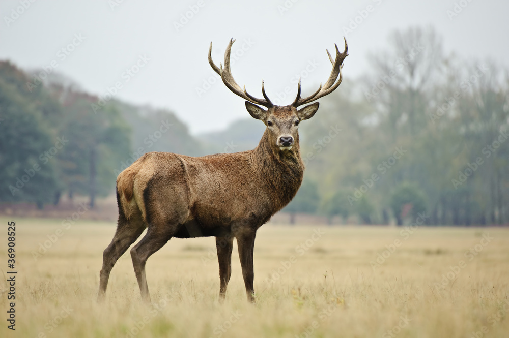 Fototapeta Portrait of majestic red deer stag in Autumn Fall
