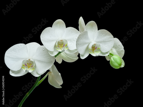 Naklejki kwiaty biala-orchidea-na-czarnym-tle