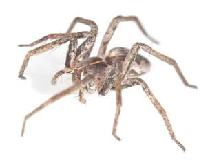 Wolf spider isolated on white background, macro photo