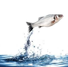 Pesce Splash