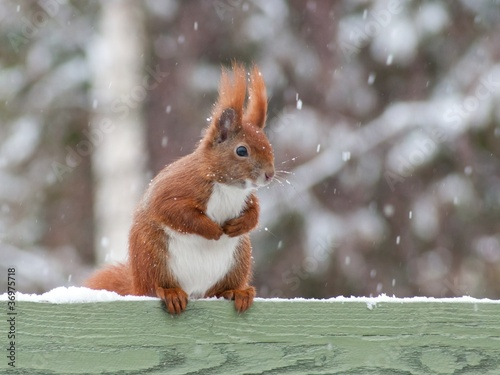 Staande foto Eekhoorn Red squirrel sitting on green fence in snow