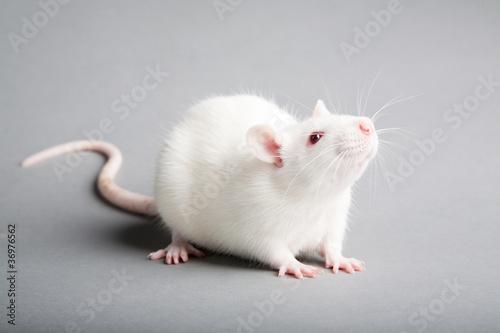 Photo  white rat