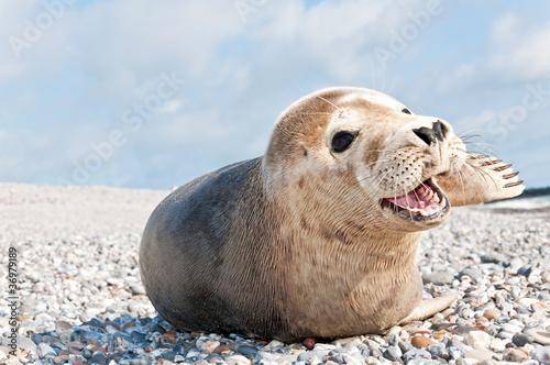 Poster Noordzee Robbe auf Helgoland