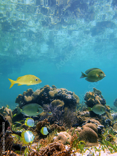 Poster Sous-marin Below the mirror surface of the caribbean sea lies a coral reef with tropical fish, Mayan Riviera, Mexico