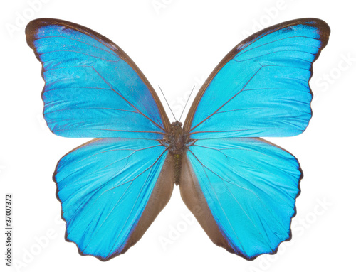 Fotografie, Obraz  Morpho  butterfly(Morpho didius).