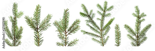 Fotografía Fir tree branches isolated on white background