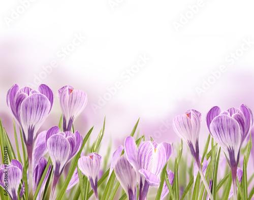 piekne-krokusy-kwiaty-tla