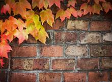 Ivy Over Brick Wall
