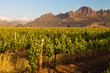 canvas print picture - Vineyard in the hills of South Africa