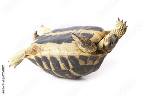 Ingelijste posters Schildpad tortue de terre