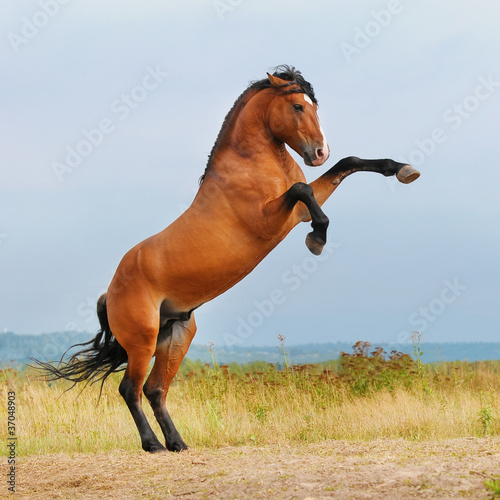 Foto op Canvas Paarden bay horse rearing up on the meadow
