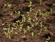 ペチュニアの発芽
