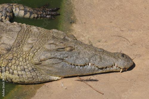 Deurstickers Krokodil Crocodile