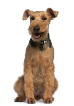 Welsh Terrier, 6 Years Old, Si...