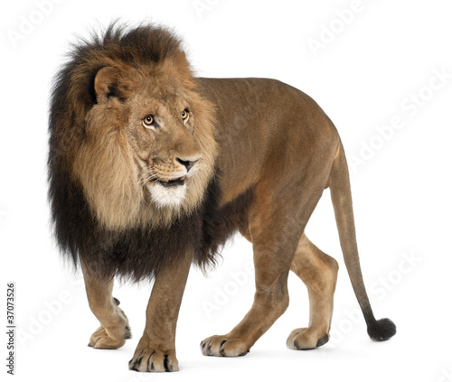 Poster Lion Lion, Panthera leo, 8 years old, standing