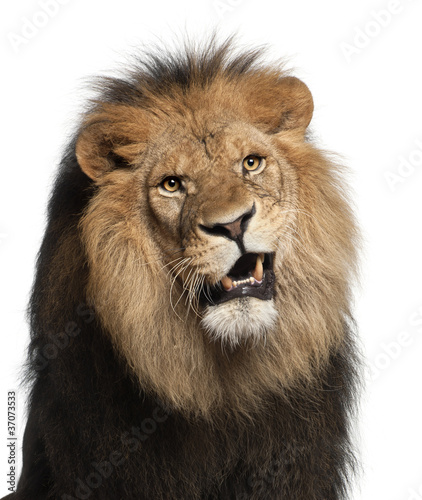 Fototapety, obrazy: Close-up of lion, Panthera leo, 8 years old