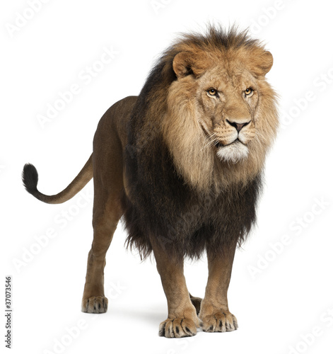 Poster Leeuw Lion, Panthera leo, 8 years old, standing