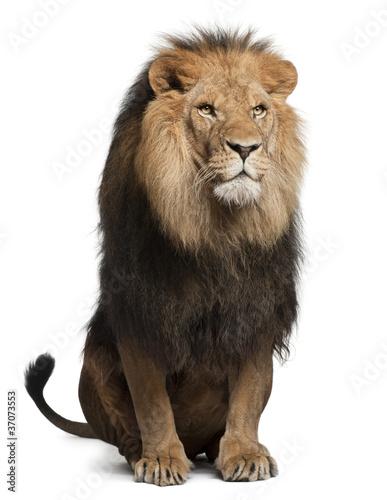 Fotobehang Leeuw Lion, Panthera leo, 8 years old, sitting