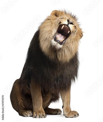 Recess Fitting Lion Lion, Panthera leo, 8 years old, roaring