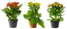 Three Flowers Of Kalanchoe In ...