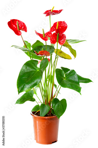 Plant of Anthurium flowers in flowerpot isolated on white Canvas Print