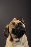 Fototapeta Dogs - Mops