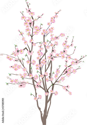 Fotomural isolated cherry tree with pink flowers