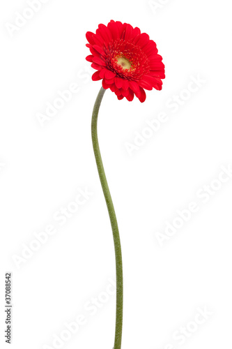 Foto op Plexiglas Gerbera Red gerbera on a bent stem