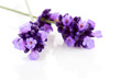 Twigs of lavender in closeup