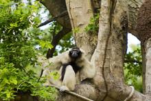 White Gibbon On The Tree, Khao...
