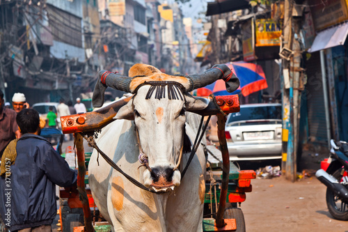 Tuinposter India Ox cart transportation on early morning in Delhi, India