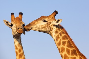 Fototapeta Żyrafa Giraffe Pair