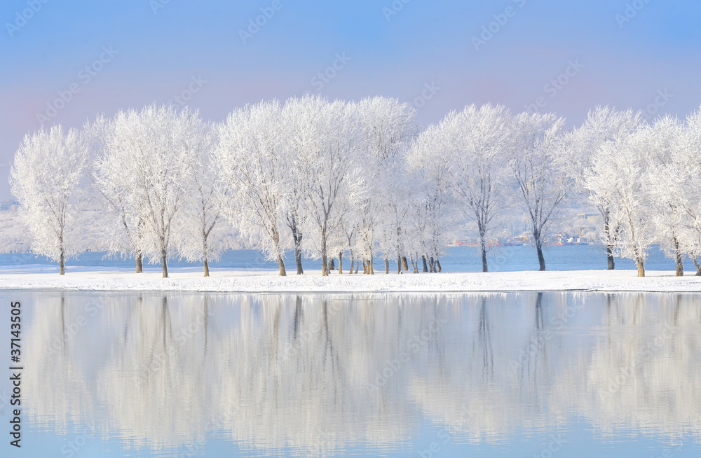 Fototapeta winter trees covered with frost