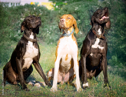 Garden Poster Dog hunter dog-English pointer