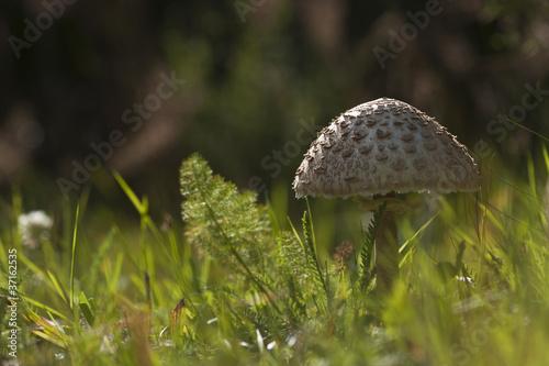 Fotografie, Obraz  Champignon coulemelle, lépiote élevée
