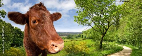 Poster de jardin Vache Vache au Mont des Cats