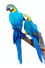 Parrots On White