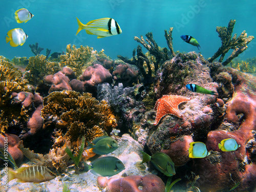 Foto op Canvas Onder water Colorful marine life in a coral reef with tropical fish and a starfish, Caribbean sea