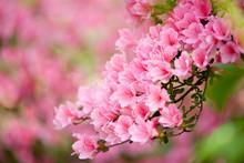 Branch Of A Pink Azalea Bush