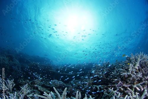 静寂の海底に群生するサンゴの中を舞うデバスズメダイ