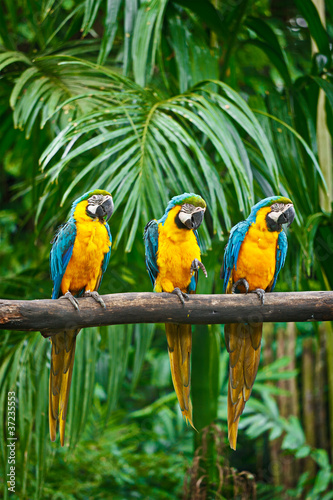 Fototapety, obrazy: Blue-and-Yellow Macaw