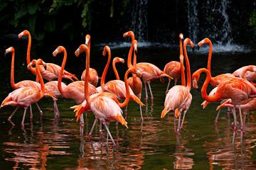 Fototapeta Do jadalni American Flamingo (Phoenicopterus ruber), Orange flamingo