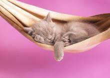 Sleeping Kitten In A Hammock
