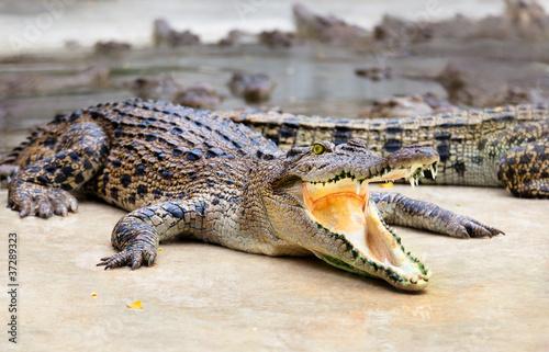 Plakat portret krokodyli w gospodarstwie, Tajlandia