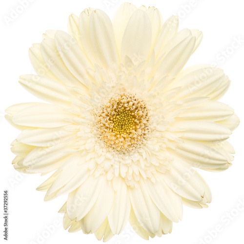 Photo Stands Gerbera White gerbera isolated